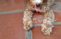 bán toy poodle