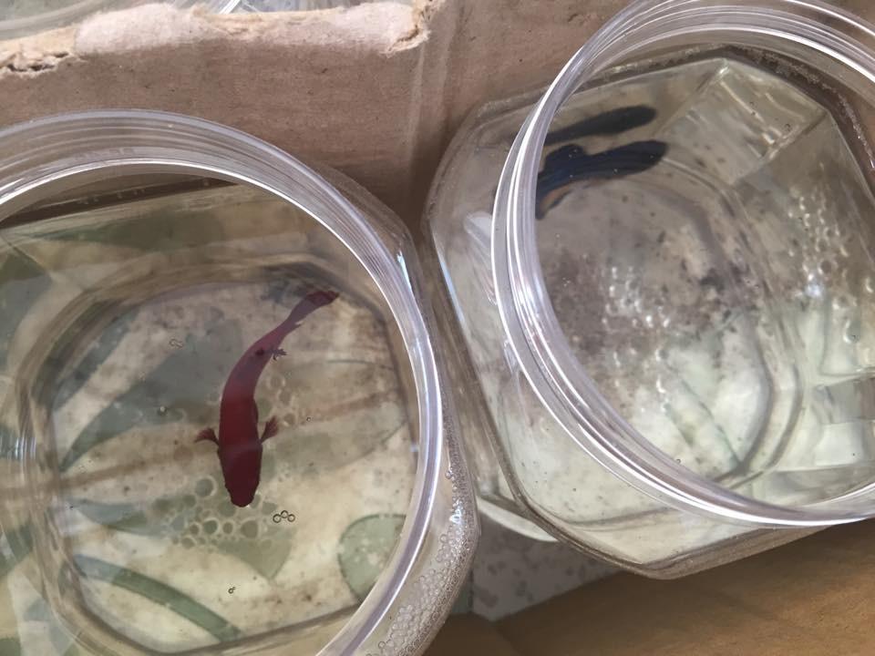 Cung cấp sỉ lẻ betta cá cảnh đẹp các loại và giá rẻ toàn quốc Ảnh số 39031116