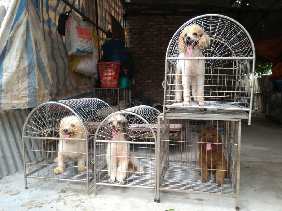 Nhận phối giống chó Poodle các mầu - 3