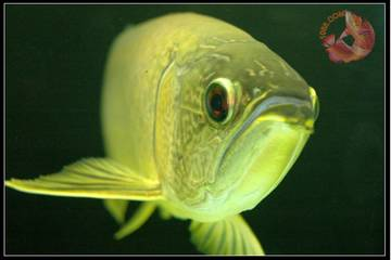 Batik Arowana for sale