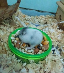 Chuột hamster campell