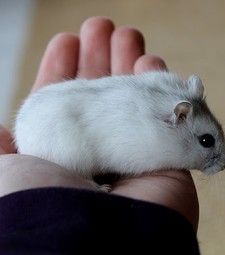Chuột Hamster Winter White trắng tuyết