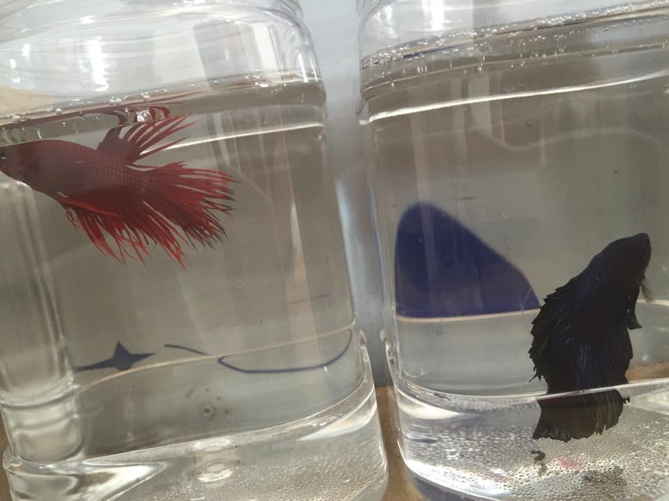 Cung cấp sỉ lẻ betta cá cảnh đẹp các loại và giá rẻ toàn quốc Ảnh số 39464033